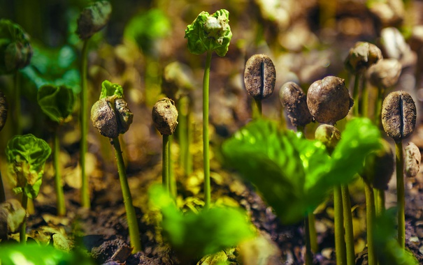 Фото обои растение, росток, кофе, плантация, Коста-Рика