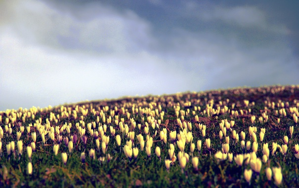 Фото обои цветы, желтые, лепестки, крокусы, много