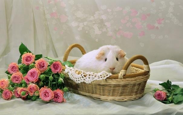 Фото обои корзина, розы, морская свинка