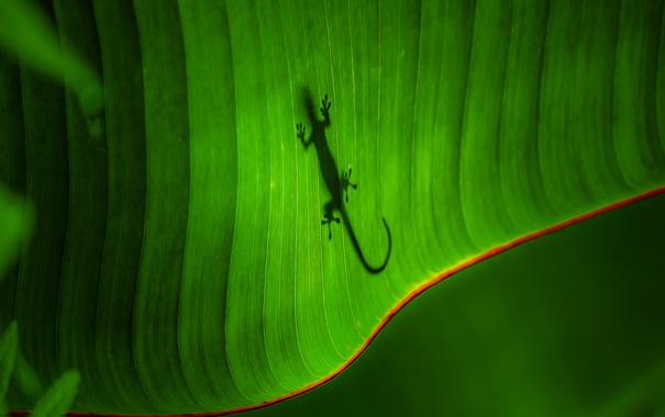 Фото обои лист, тень, ящерица