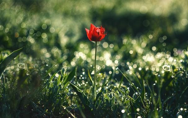 Фото обои цветы, природа, тюльпан, боке