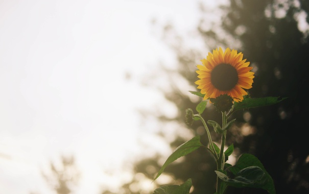 Фото обои цветок, подсолнух, желтые лепестки