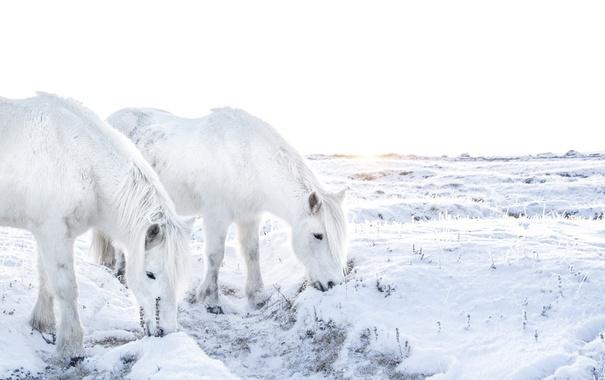 Фото обои зима, поле, кони