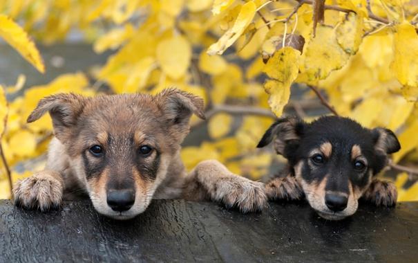 Фото обои собаки, природа, друзья