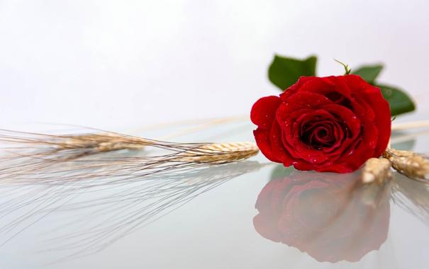 Фото обои макро, отражение, роза, бутон, колосья