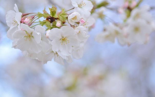 Фото обои вишня, весна, сакура