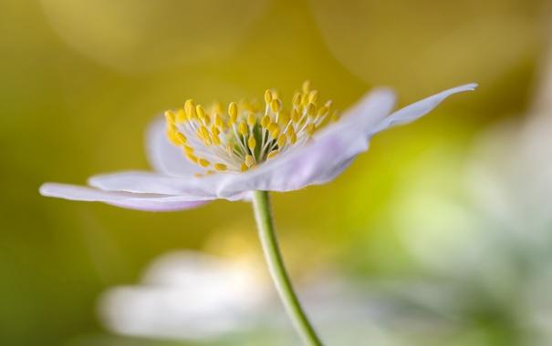 Фото обои цветок, лепестки, тычинки, ветреница дубравная