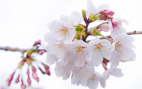 Фото обои макро, вишня, сакура