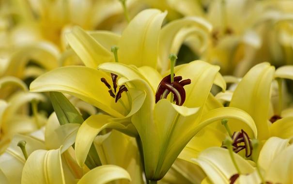 Фото обои макро, желтый, лилии, лепестки, бутоны