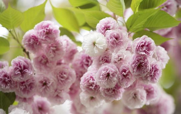 Фото обои макро, вишня, розовый, сакура