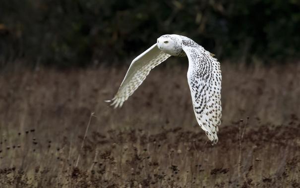 Фото обои полет, фон, птица, крылья, Белая сова