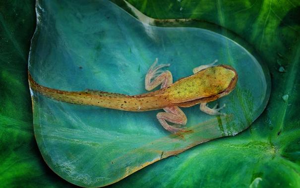 Фото обои вода, макро, природа, лист, капля, лягушка, головастик