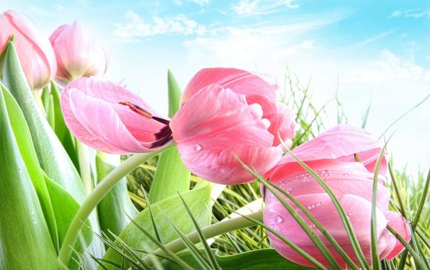 Фото обои небо, трава, облака, капли, роса, тюльпаны, розовые