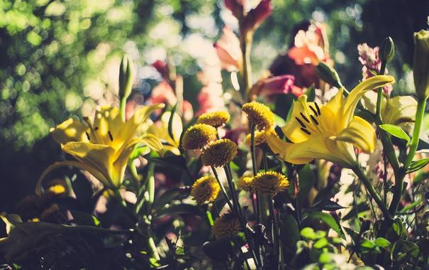 Фото обои цветы, лилии, лепестки
