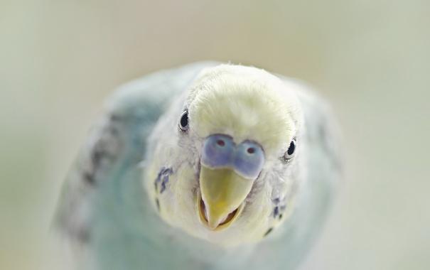 Фото обои фон, птица, попугаи