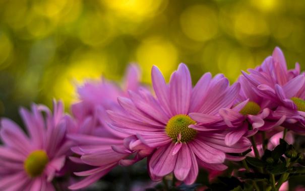 Фото обои макро, хризантемы, боке