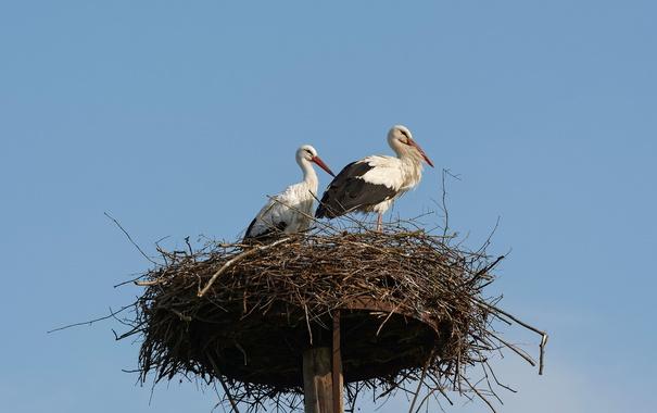 Фото обои птицы, природа, гнездо, аисты