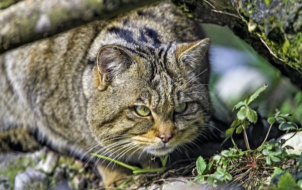 Фото обои хищник, охота, дикий кот