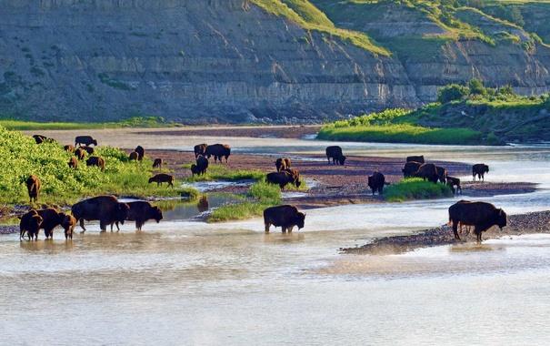 Фото обои река, США, Северная Дакота, Theodore Roosevelt National Park, американские бизоны, Малая Миссури