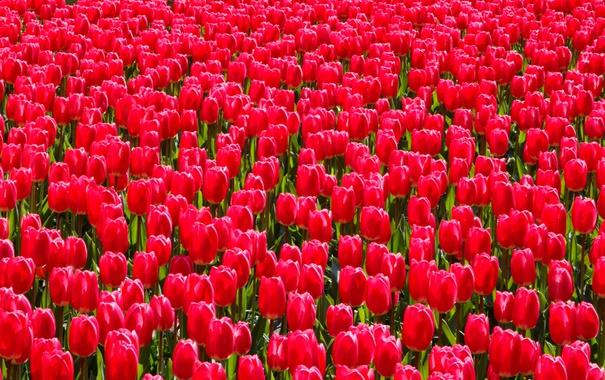 Фото обои краски, весна, сад, луг, тюльпаны