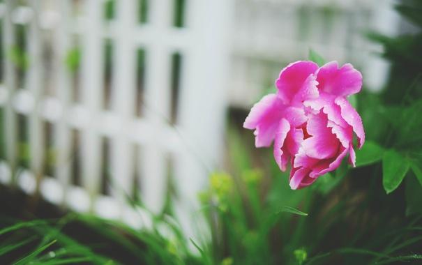 Фото обои цветок, лепестки, пион