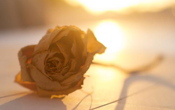 Фото обои цветок, свет, роза