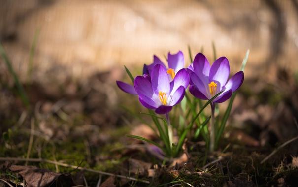 Фото обои весна, крокус, шафран