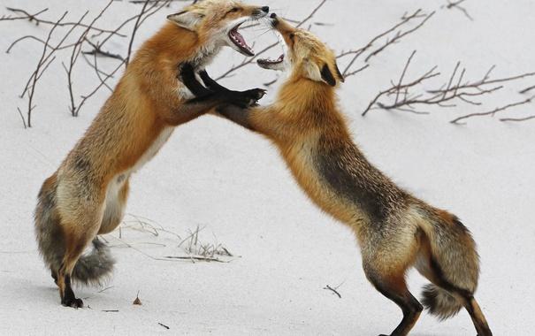 Фото обои зима, природа, лисы
