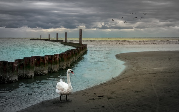 Фото обои море, природа, лебедь