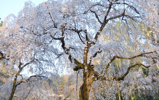 Фото обои вишня, дерево, весна, сакура