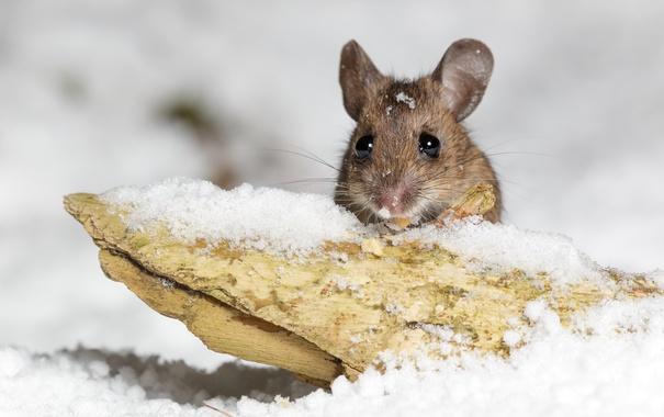 Фото обои снег, природа, мышка