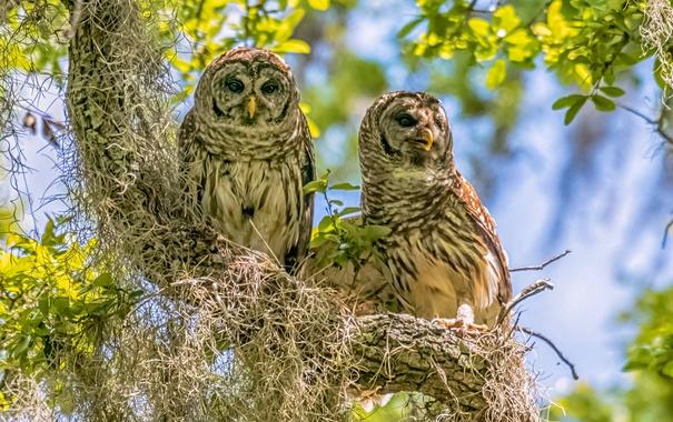 Фото обои птицы, дерево, совы, парочка, на дереве, Пёстрая неясыть