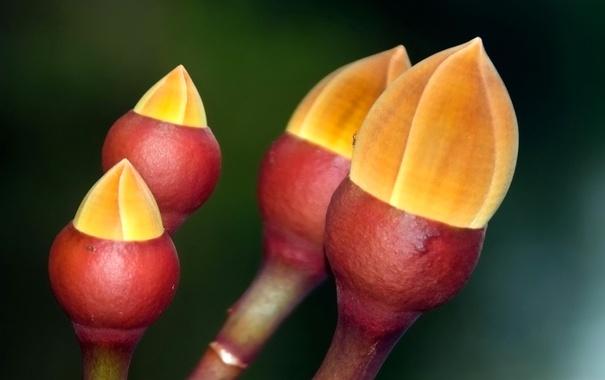 Фото обои цветок, природа, весна, Бразилия, почки, Амазонас