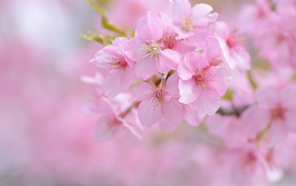Фото обои вишня, розовый, нежность, весна, сакура