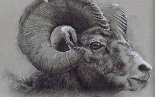 Фото обои horns, drawing, head, Bighorn Ram