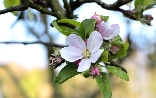 Фото обои макро, ветка, весна, яблоня