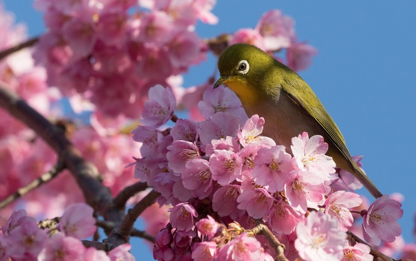 Фото обои вишня, птица, ветка, сакура, цветение, цветки, Японская белоглазка