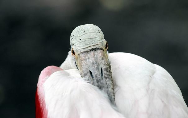 Фото обои макро, птица, Розовая колпица