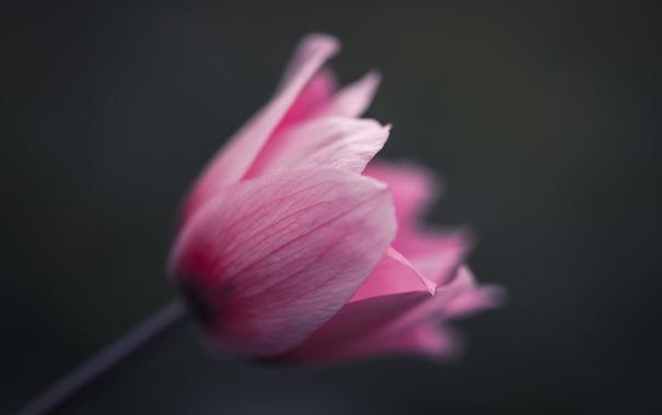 Фото обои цветок, макро, тюльпан
