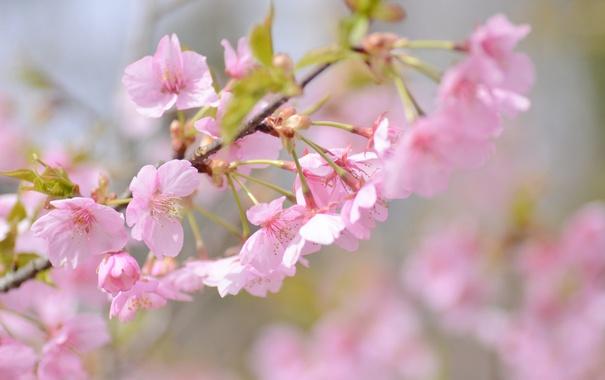 Фото обои вишня, розовый, ветка, весна, сакура