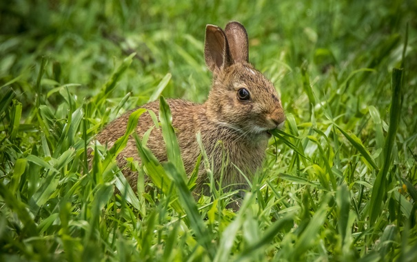 Фото обои трава, кролик, уши