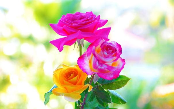 Фото обои макро, фон, розы, красота, лепестки