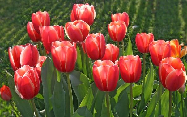 Фото обои тюльпаны, бутоны, красные тюльпаны