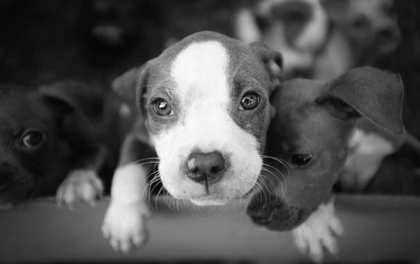 Фото обои собаки, фон, щенки
