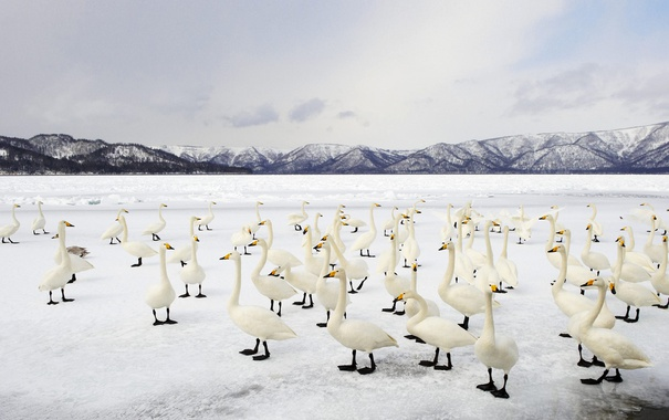 Фото обои птицы, озеро, Япония, Хоккайдо, Куссяро, лебедь-кликун, Национальный парк Акан