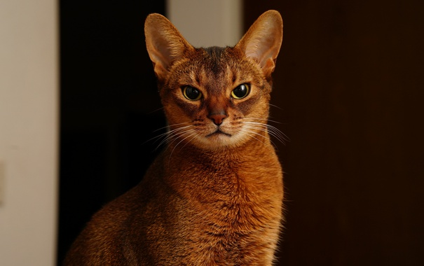 Фото обои кошка, глаза, кот, усы, фон, abyssinian
