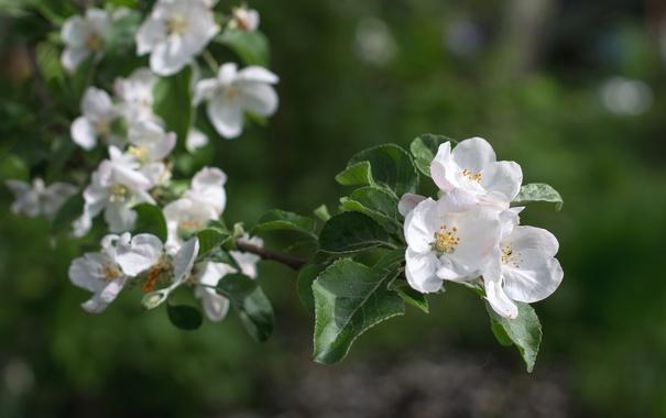 Фото обои ветка, весна, яблоня