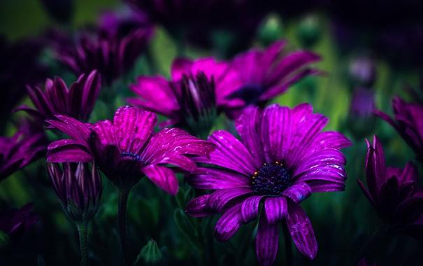 Фото обои капли, боке, Purple daisies
