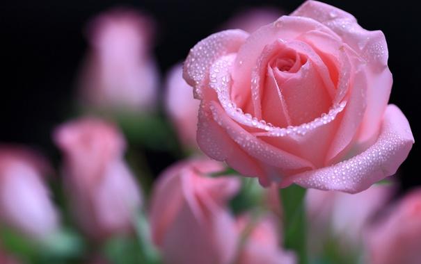 Фото обои капли, макро, нежность, роза, лепестки