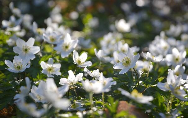 Фото обои белый, макро, ветреница, лесной анемон